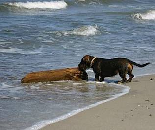 Hund mit Treibholz am Strand auf Norderney